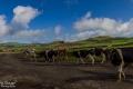 Landwirtschaft & Kühe auf Terceira